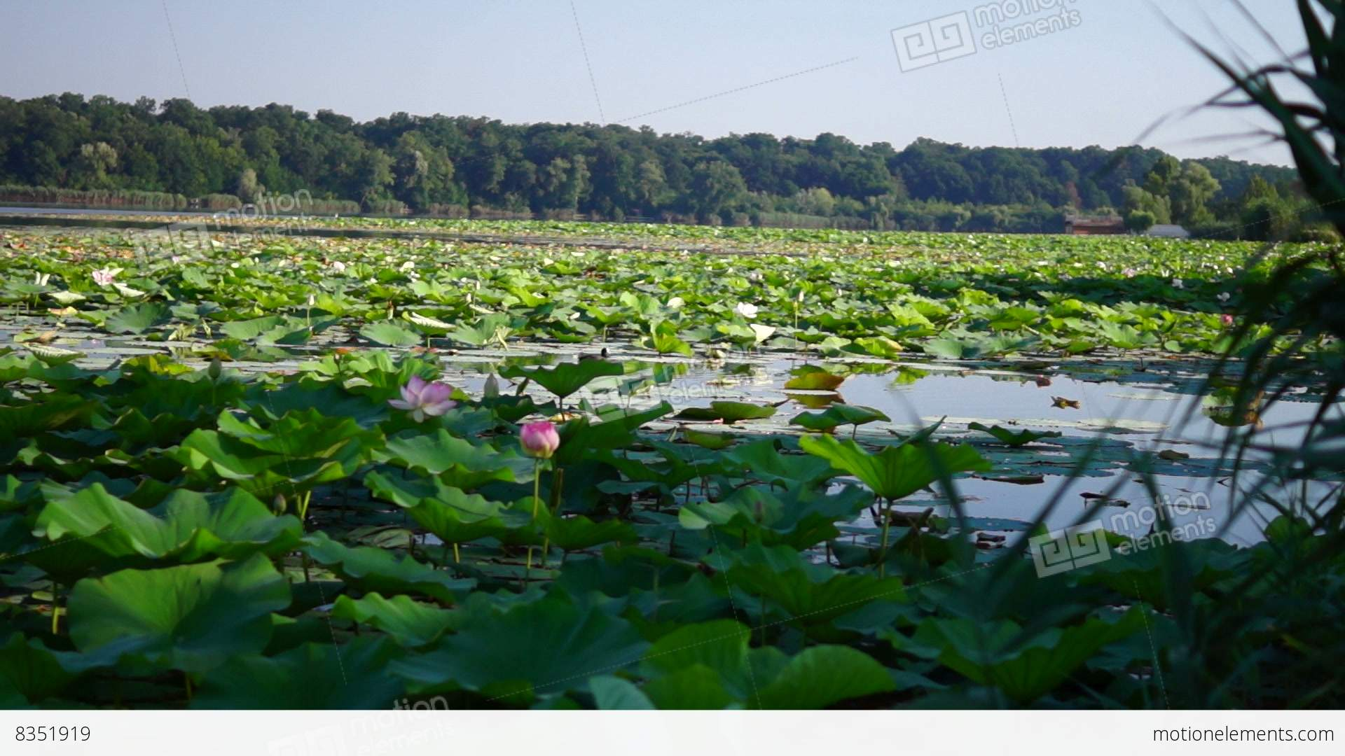 Lotus flower with coot sinking in pond to fish with ambiental sound lotus flower with coot sinking in pond to fish with stock video izmirmasajfo Gallery