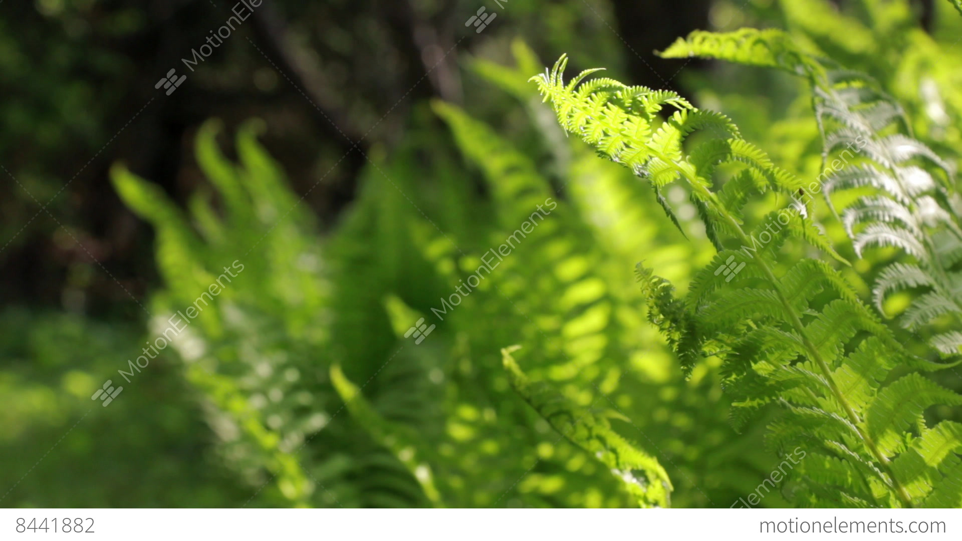 Rack Focus Shot Of Green Ostrich Fern Leaves Stock Video Footage ...