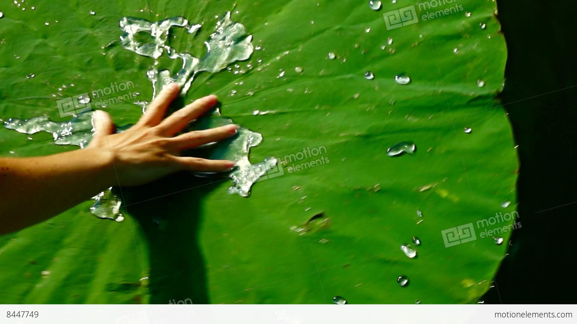 Lotus Leaf Nelumbo Nucifera Shaken By Handlotus Effect Stock