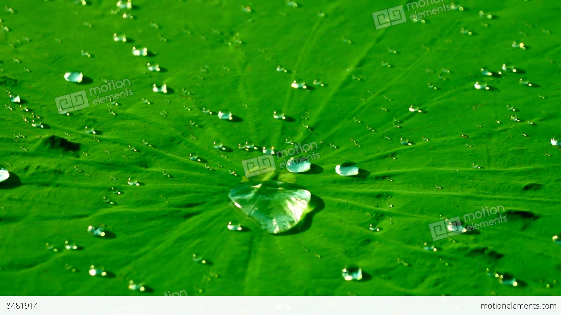 Water Drops On The Lotus Leaf Nelumbo Nucifera With Dragonfly
