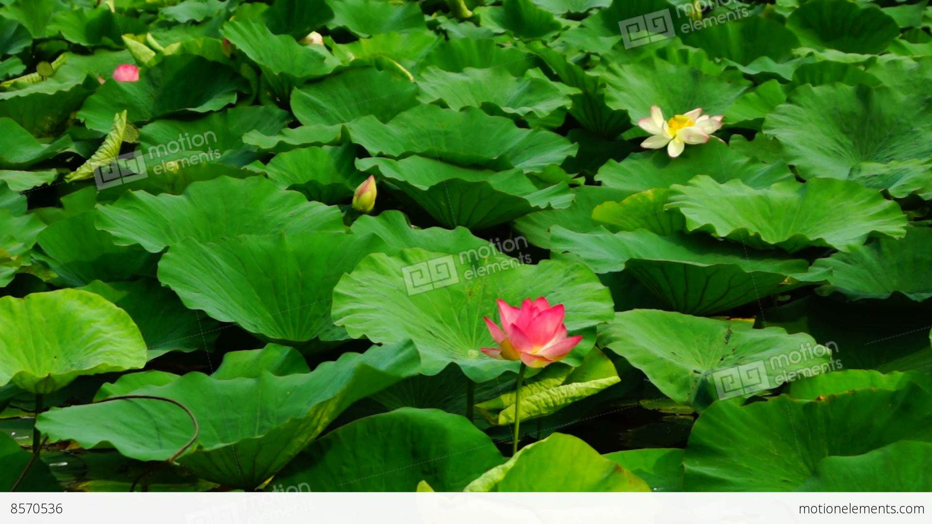 Lotus Flower Nelumbo Nucifera Moving By Waves Stock Video Footage