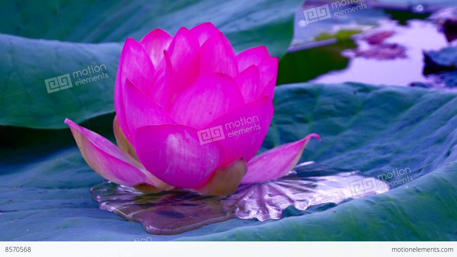 Vivid Lotus Flower Nelumbo Nucifera Moving By Waves Stock Video Footage