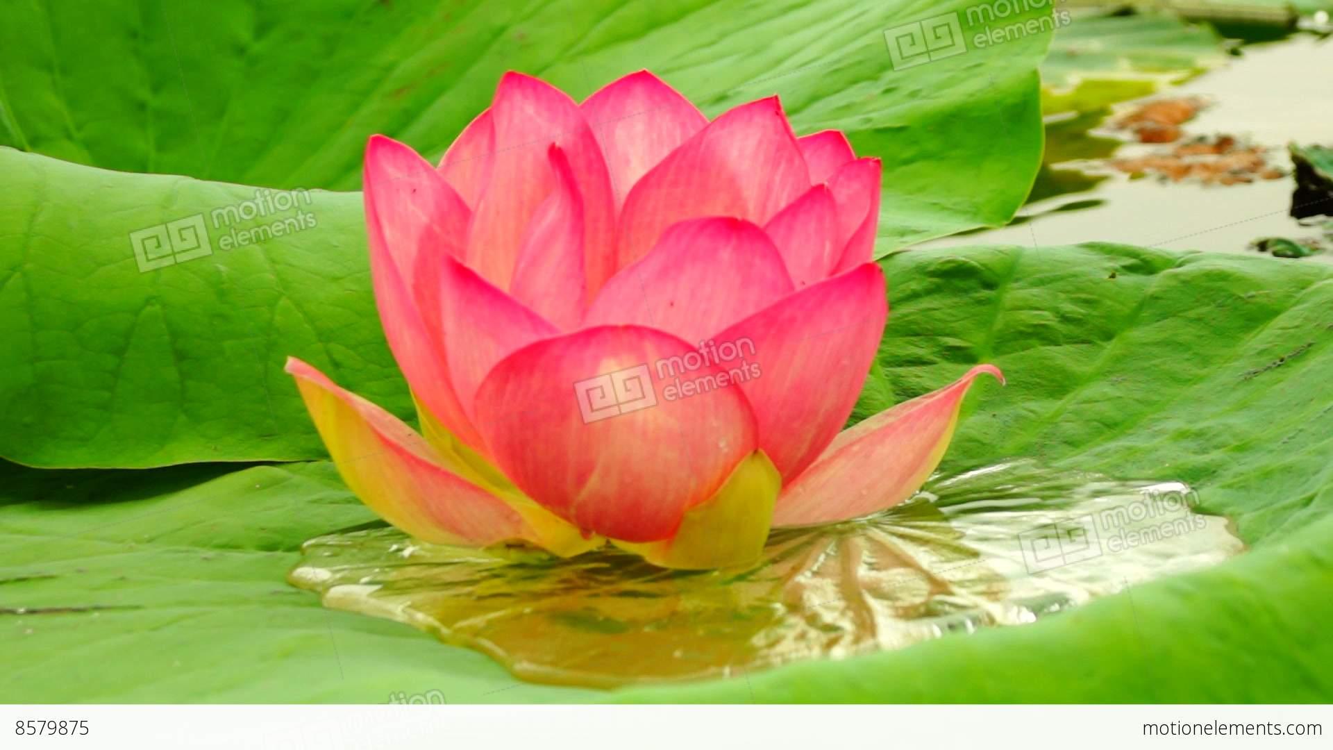 Lotus Flower Nelumbo Nucifera Moving By Waves On Lake Sound
