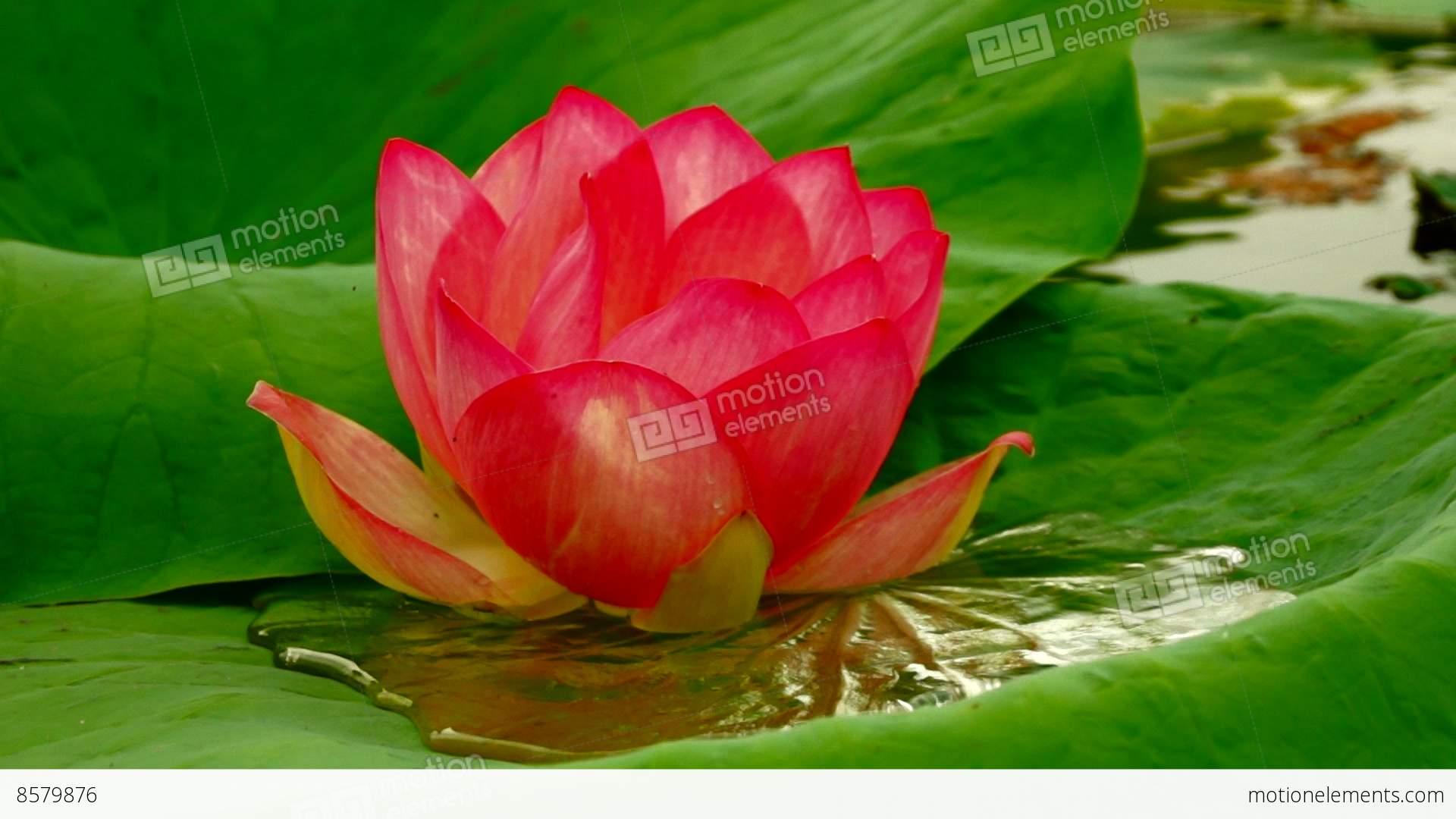 Lotus flower nelumbo nucifera moving by waves on pond stock video lotus flower nelumbo nucifera moving by waves on pond stock video footage izmirmasajfo