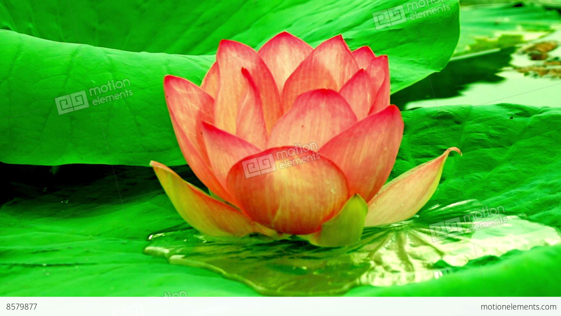 Lotus Flower Nelumbo Nucifera With Fruits Flies Moving By Waves