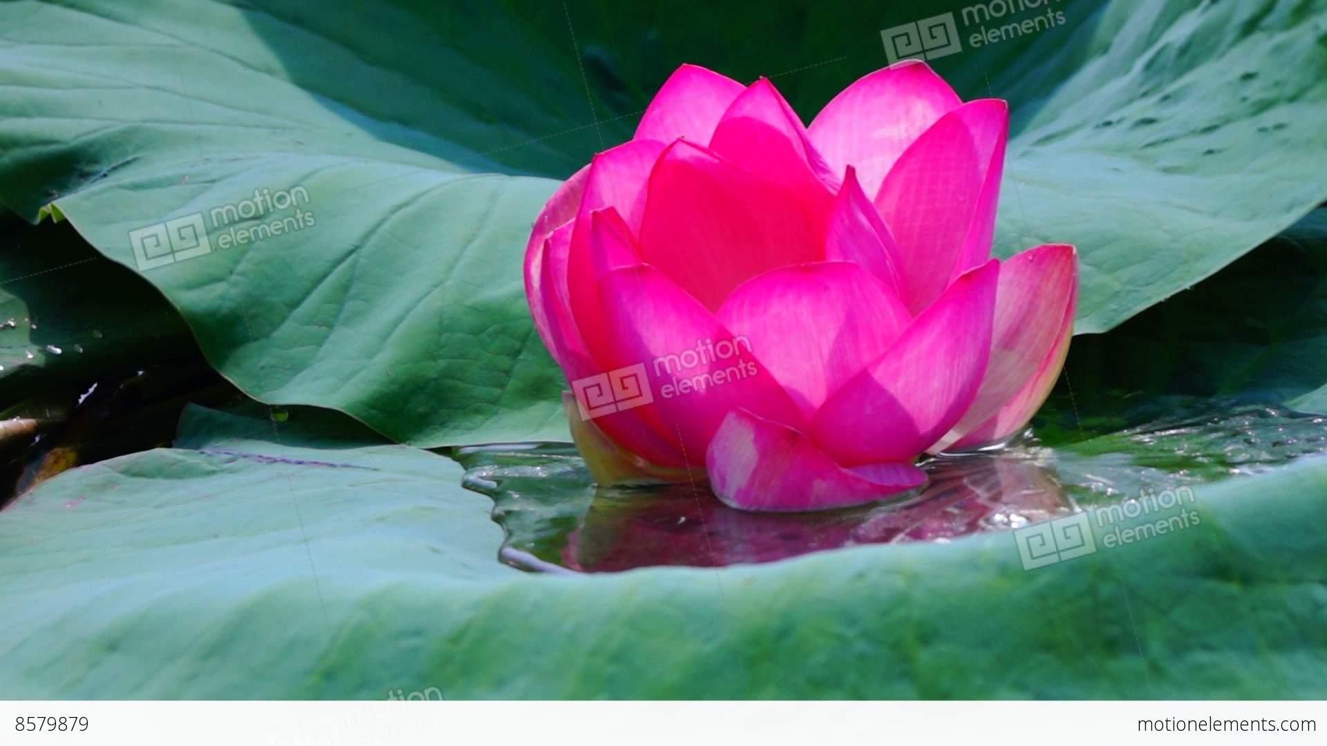 Lotus Flower Nelumbo Nucifera Moving By Waves On Lake Stock Video