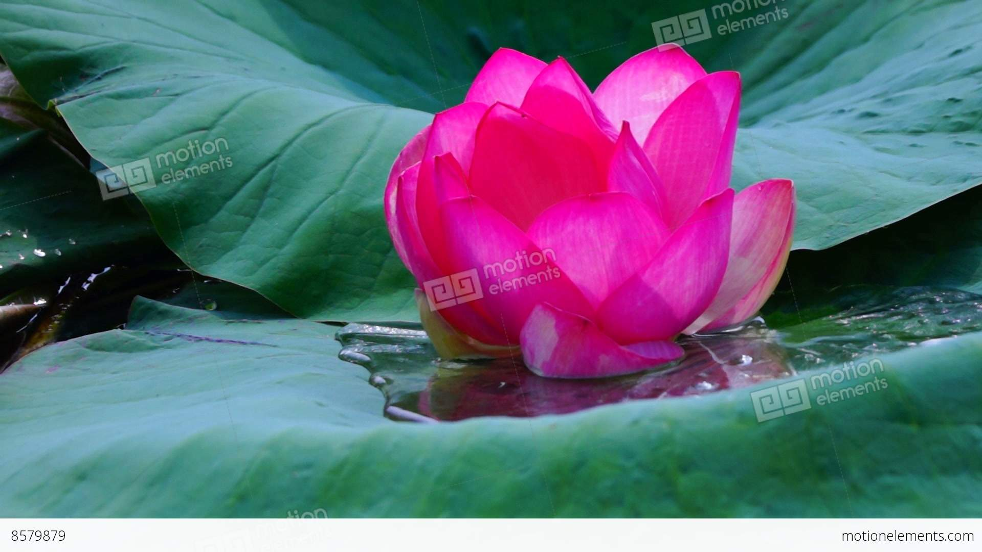 Lotus Flower Nelumbo Nucifera Moving By Waves On Lake Stock Video
