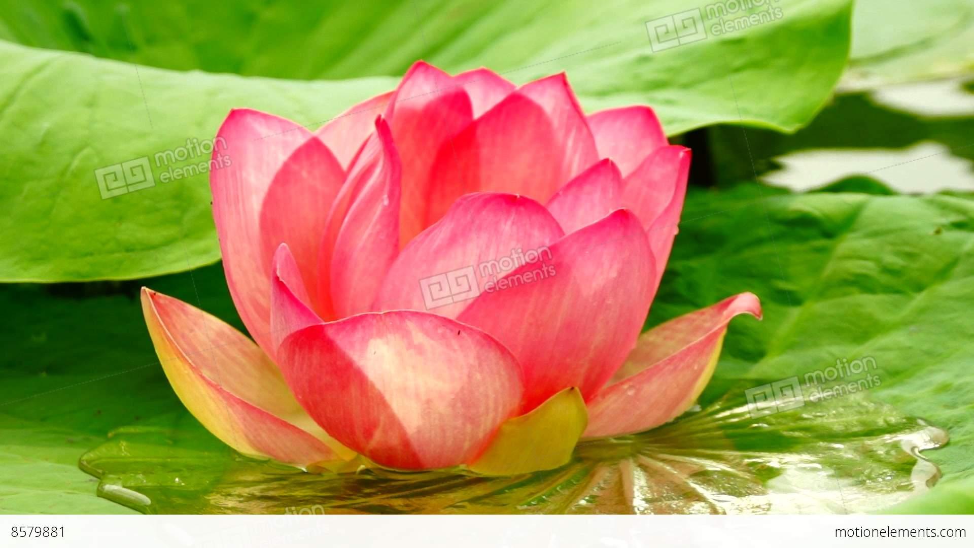 Lotus Flower Nelumbo Nucifera Moving By Waves Sound Stock Video