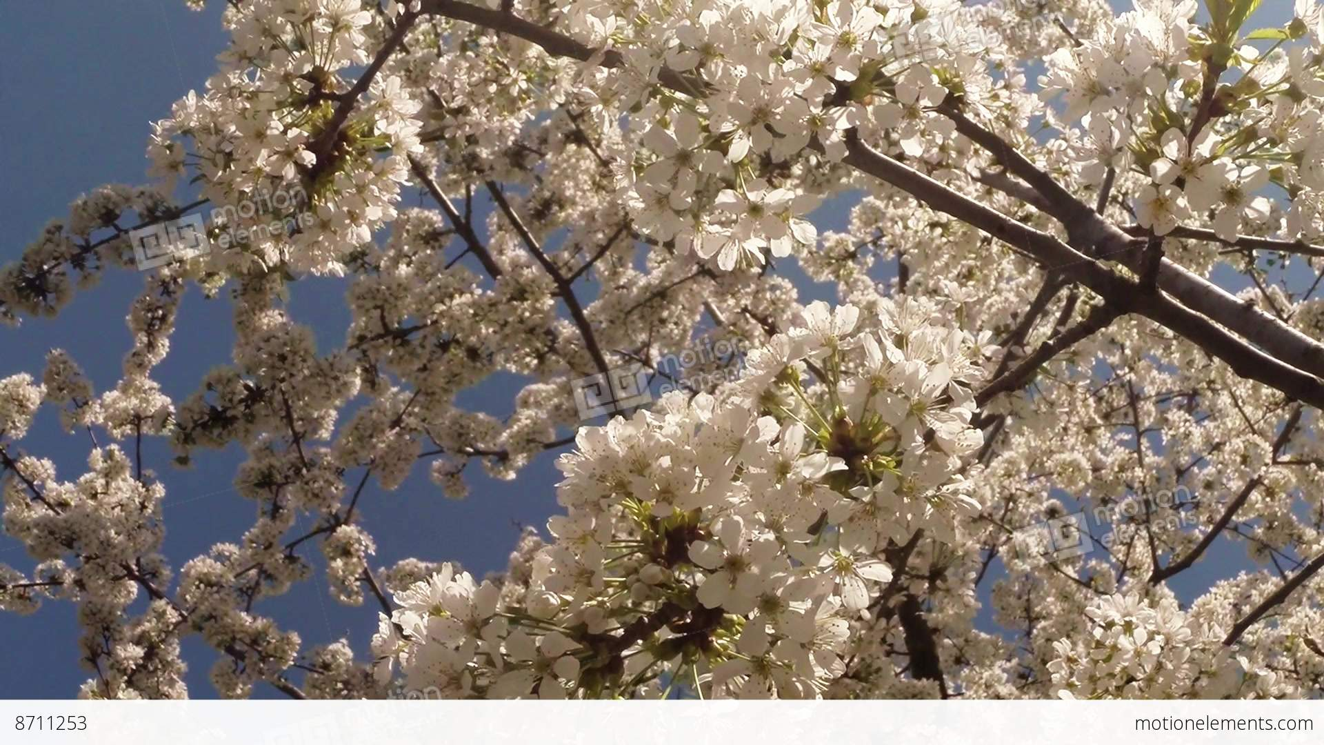 Cherry Fruit Trees Pictures