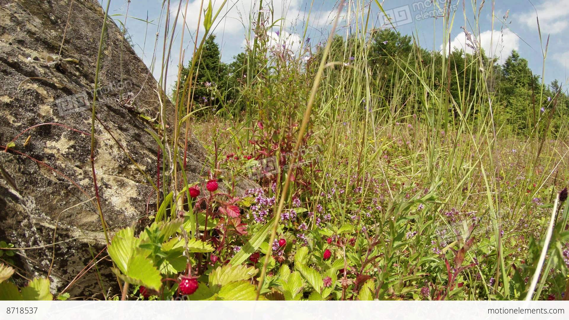 Berries of wild strawberry hiding in the tall grass near the stone berries of wild strawberry hiding in the tall grass near stock video footage mightylinksfo
