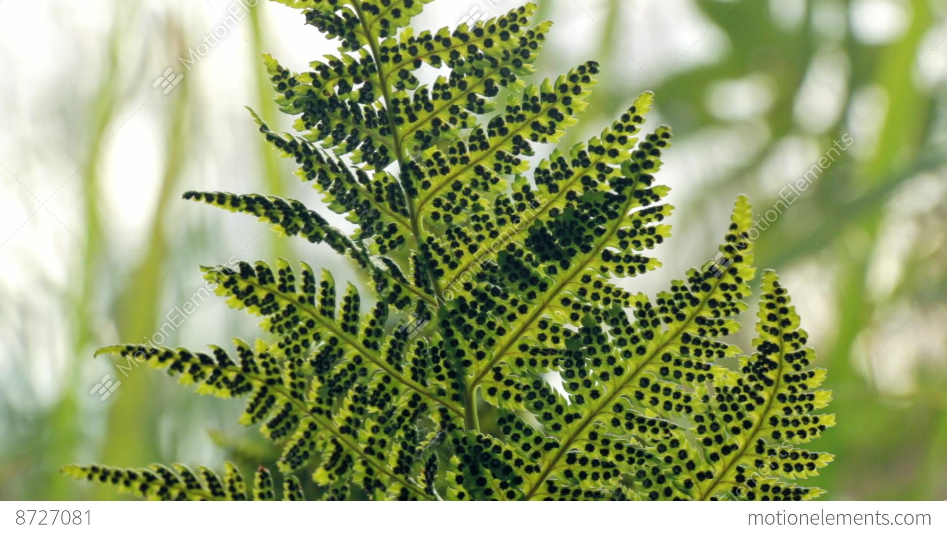Sporangia Under Green Fern Leaves Stock video footage ... Fern Sporangia