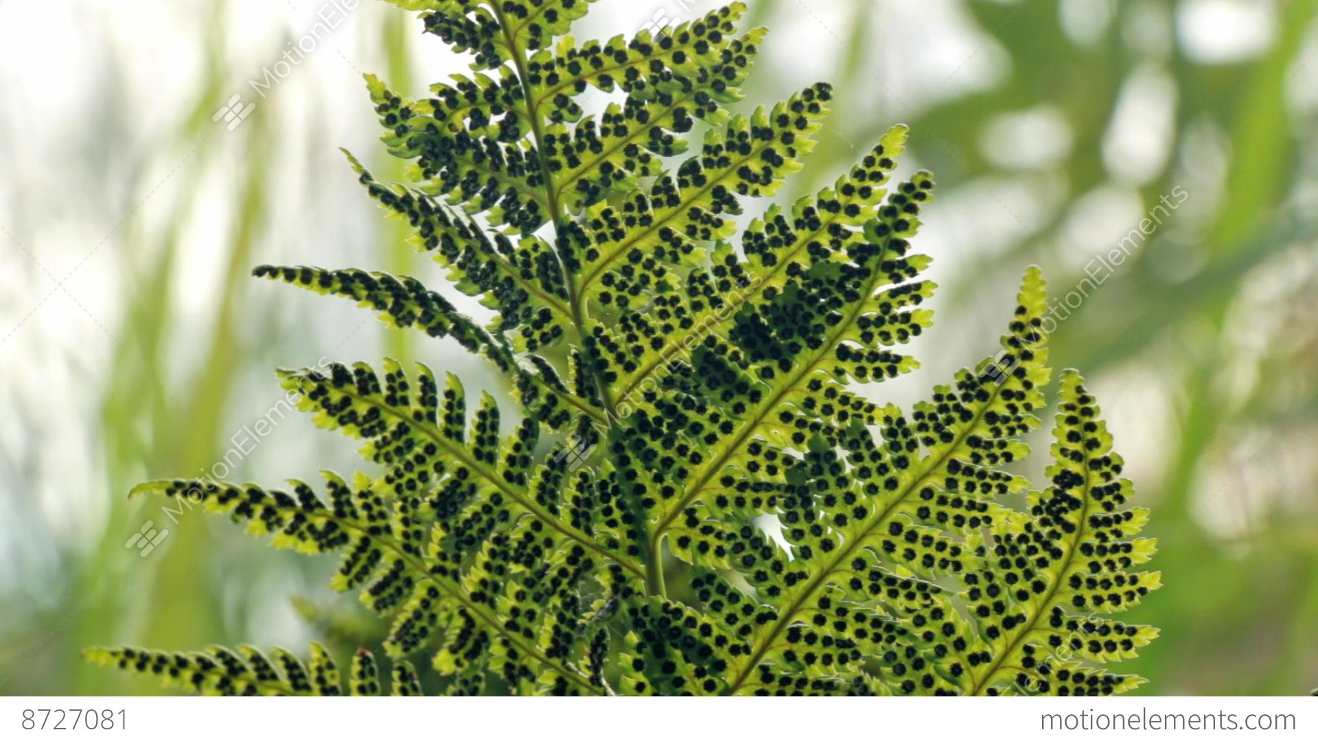 Sporangia Under Green Fern Leaves Stock Video Footage