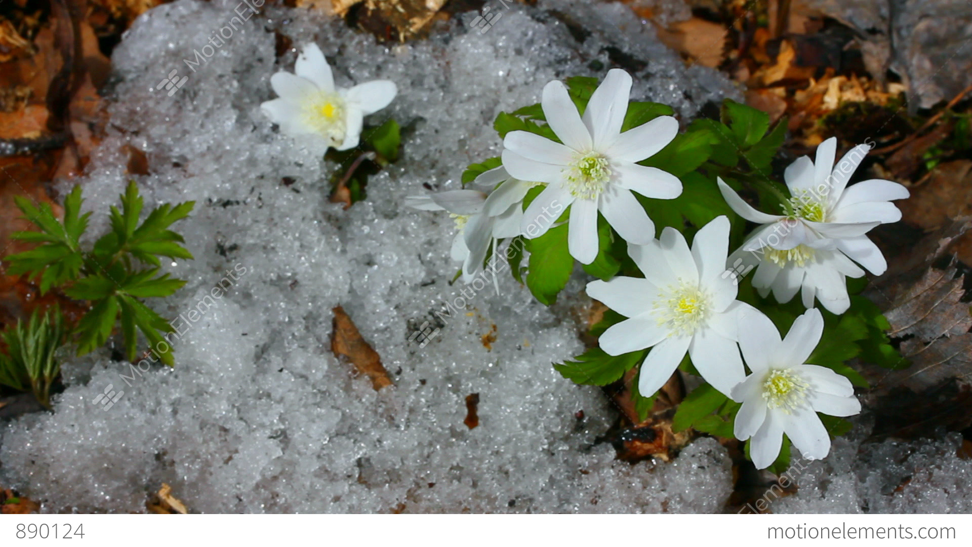 Snowdrop Flowers And Melting Snow Timelapse Stock video footage