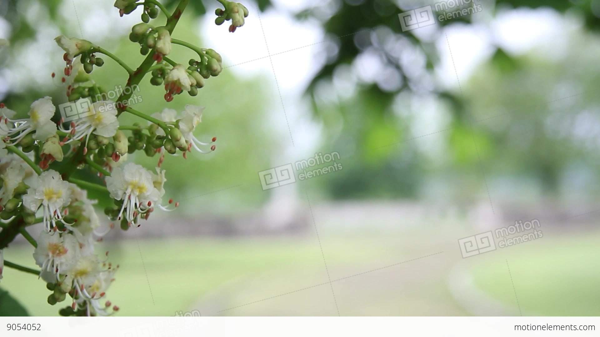 Branch Of Blossoming Tree With Small White Flowers It Sees The