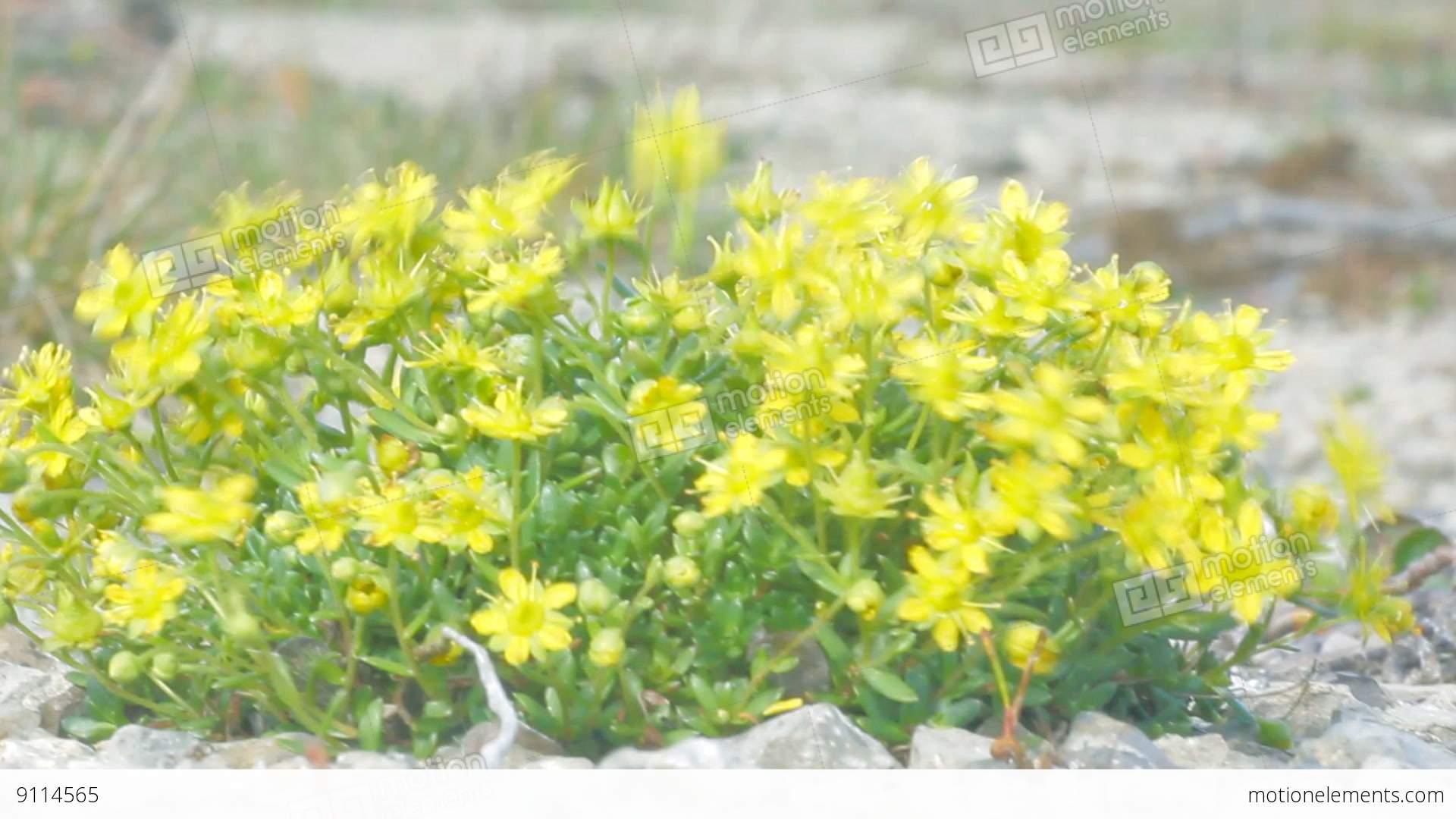 Curtin Shiny Yellow Flowers In Polar Desert Novaya Zemlya