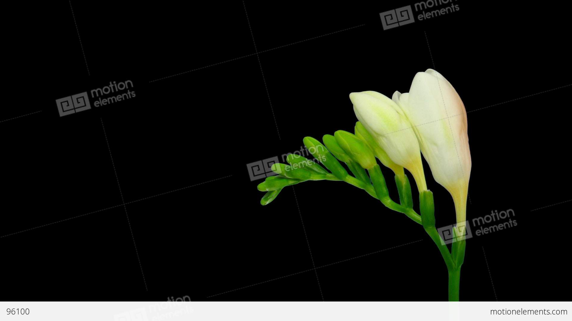 Time lapse opening white freesia flower buds alpha matte 1 stock time lapse opening white freesia flower buds alpha matte 1 stock video footage mightylinksfo