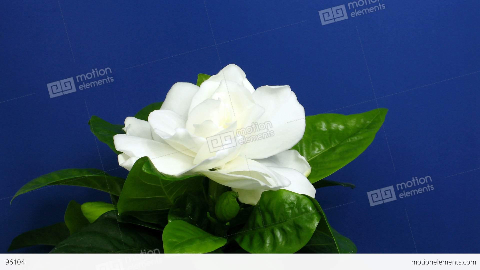 Time-lapse Of Gardenia Flower Opening 1 Stock video ...