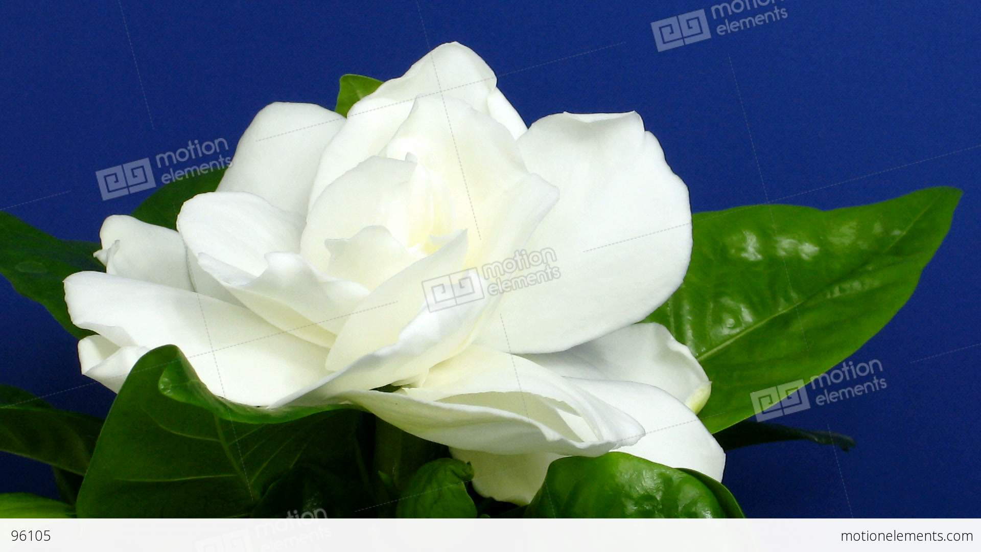 Time lapse of gardenia flower opening 2 stock video footage 96105 time lapse of gardenia flower opening 2 stock video footage mightylinksfo