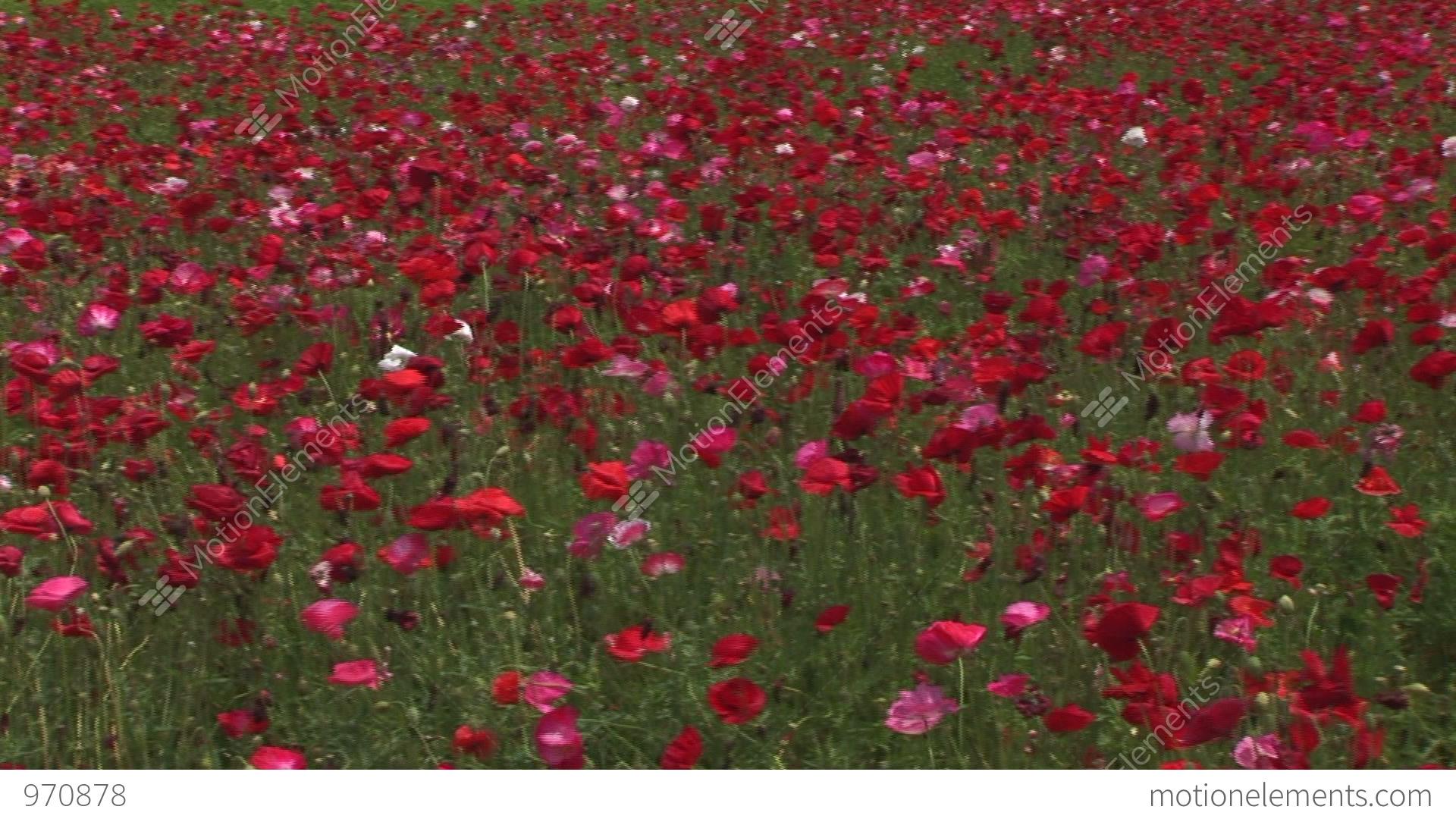 Pink poppy flower field