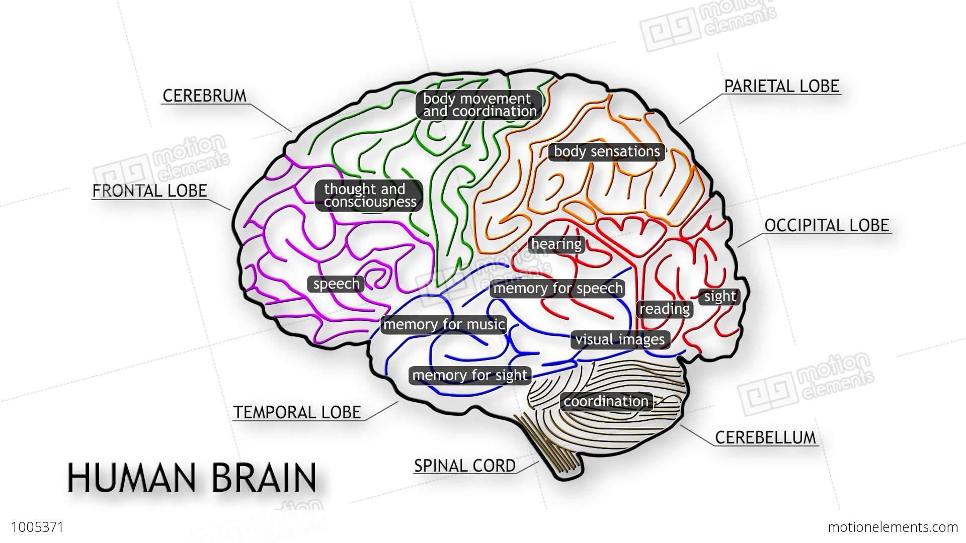 Human Brain 09 Stock Animation | 1005371