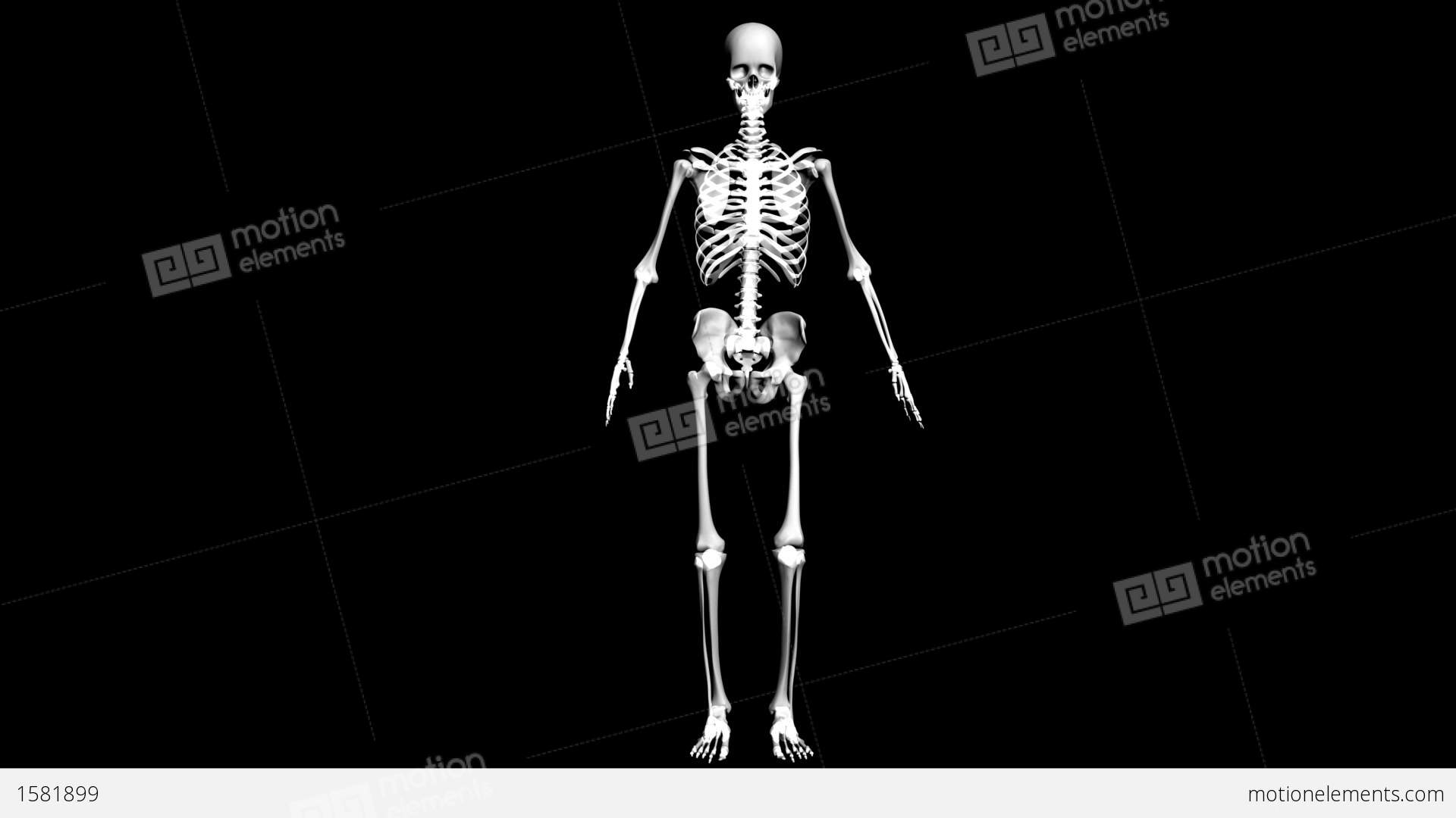 anatomy of the human body: skeleton stock animation | 1581899, Skeleton