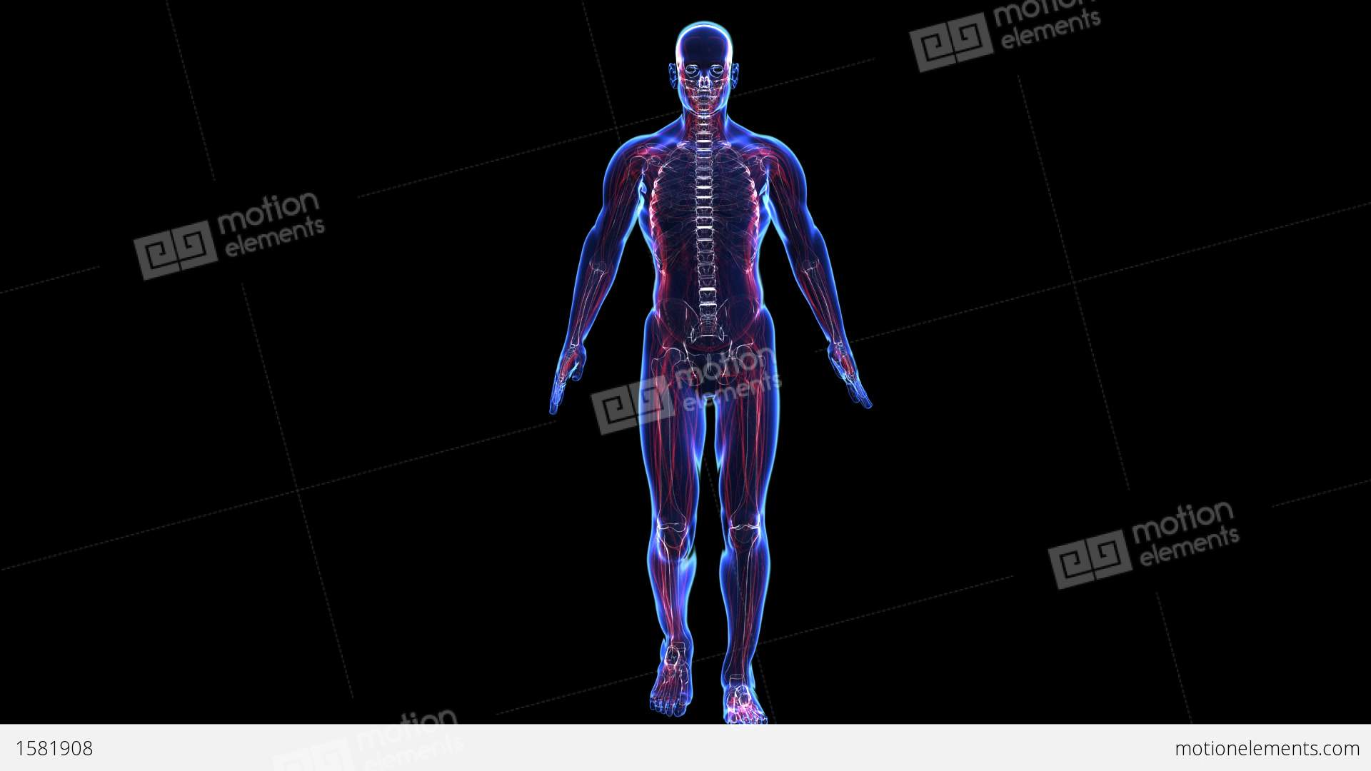 Anatomy Of The Human Body Skin Skeleton And Muscules Stock