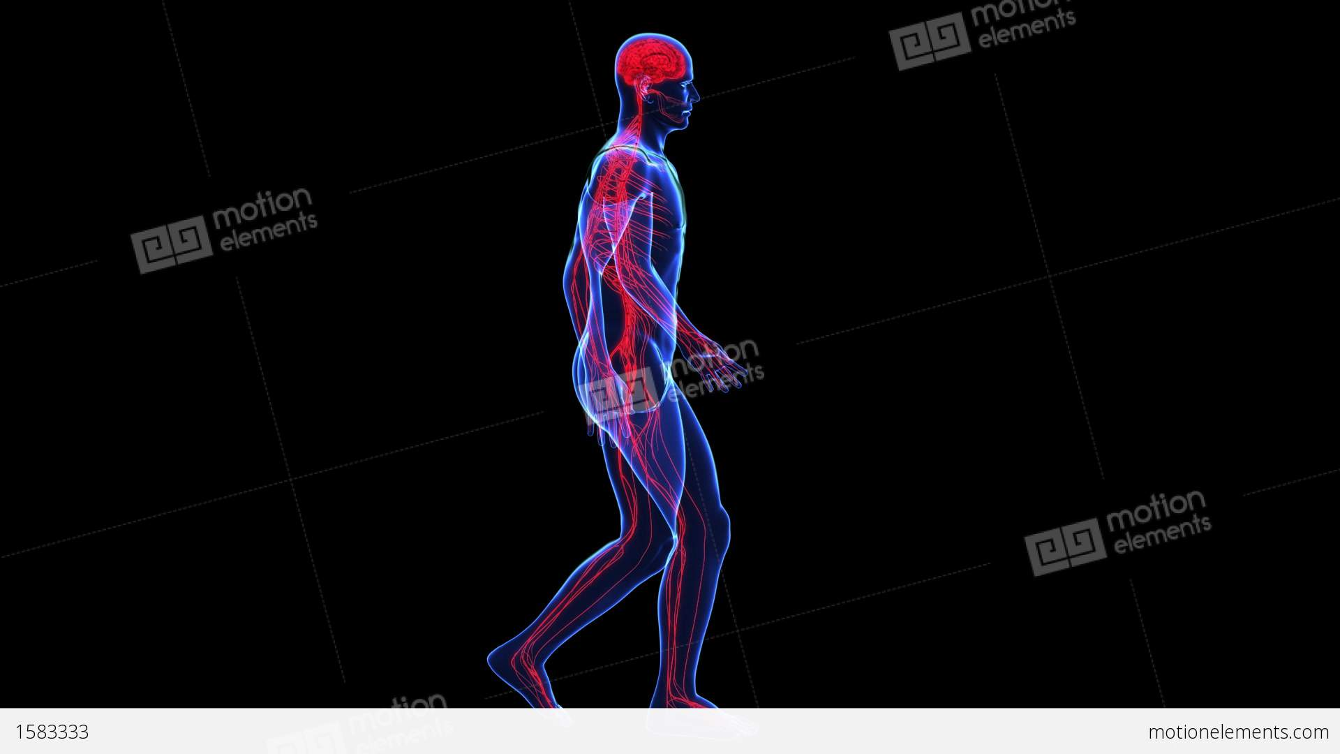 Anatomy Skin And Nervous Stock Animation 1583333